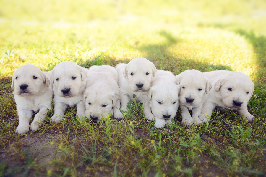 Half English Golden Retriever Puppies from Olaf