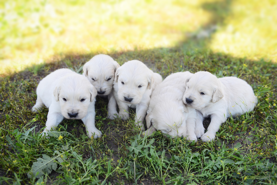 Olaf and Chloe's Male Puppies