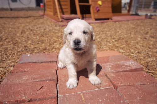 english cream golden retriever mr snow