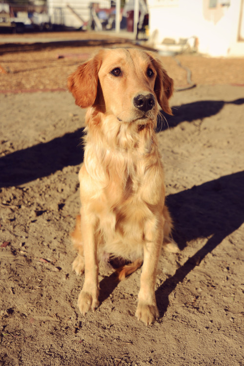american golden retriever