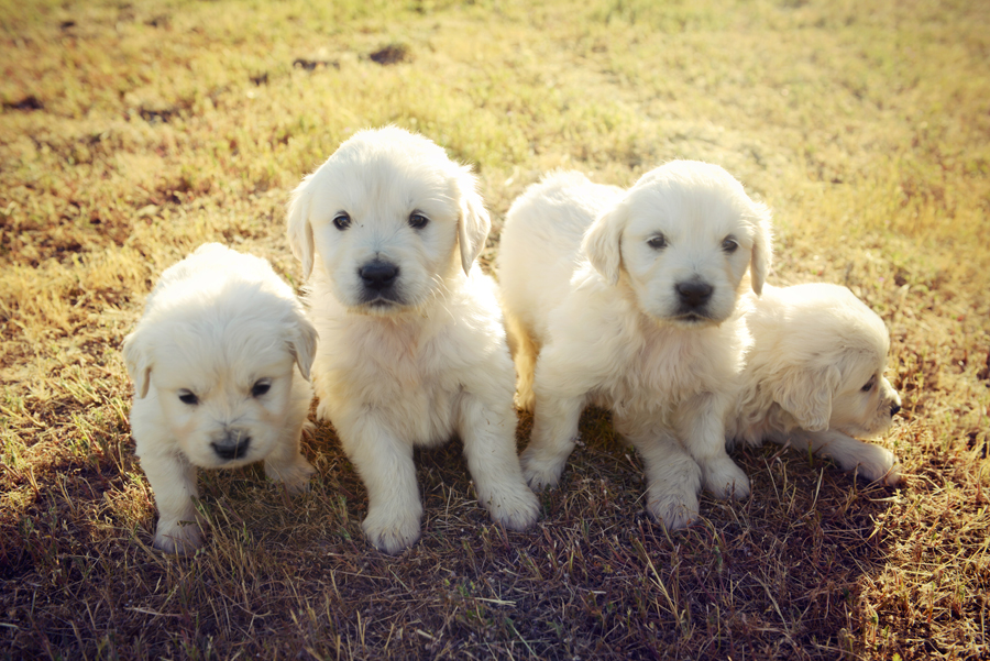 English Golden Retriever Puppies Chadwick S Goldens